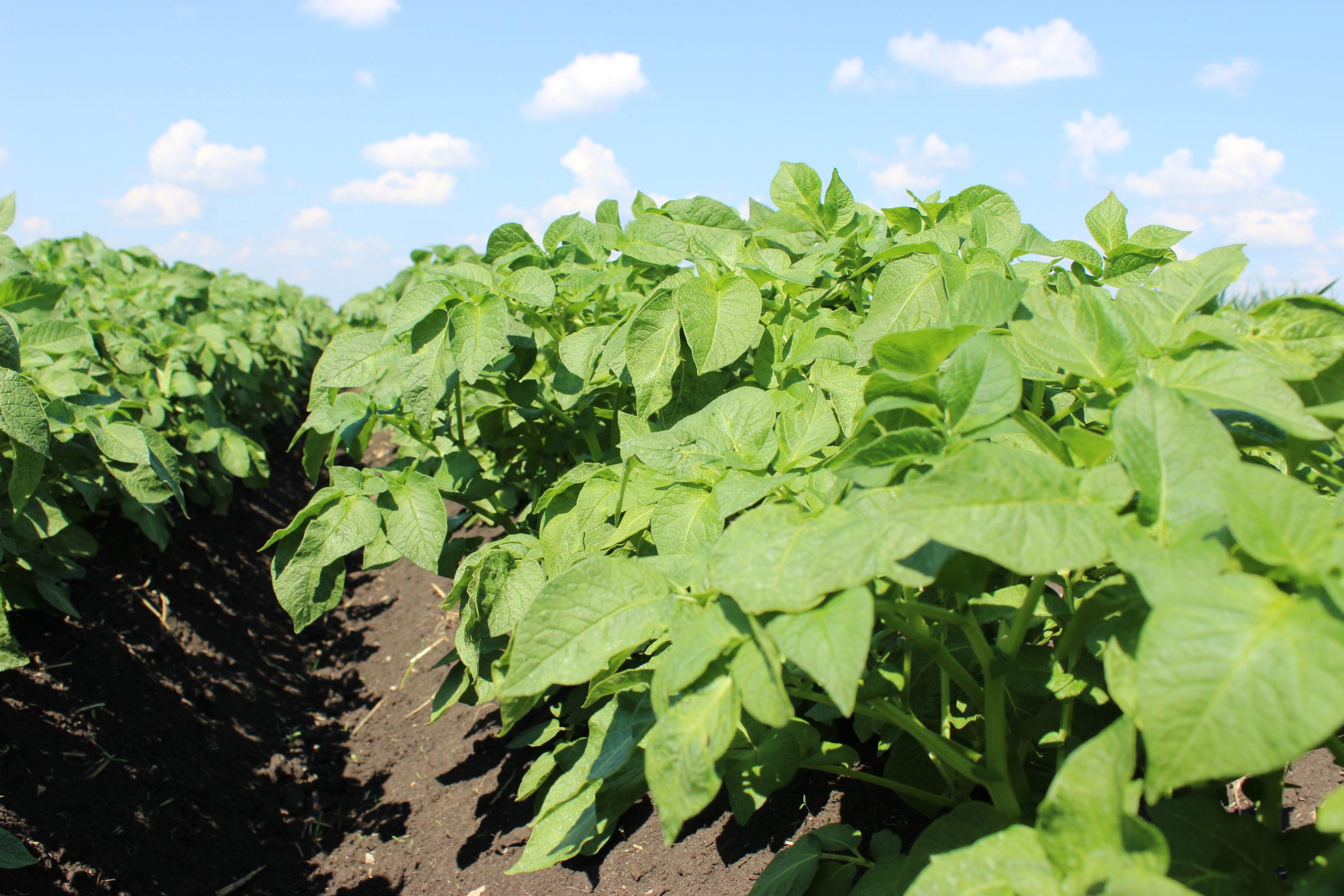 Увеличение продуктивности картофеля на 14,2%