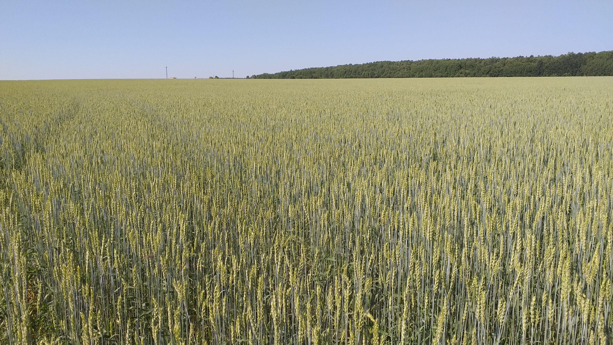 Агропредприятие получило прибавку урожайности яровой пшеницы в 20%