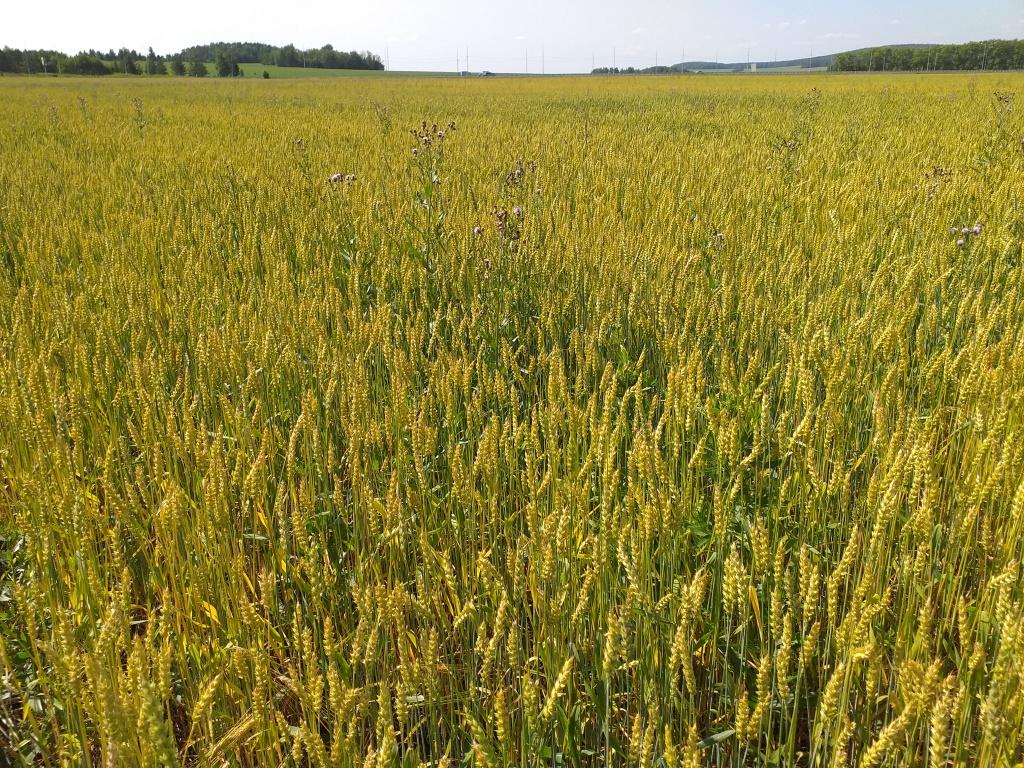 Увеличение урожайности яровой пшеницы на 14%
