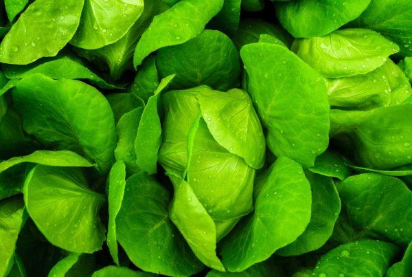 uvelichenie-urozhajnosti-salata-na-sorok-tri-procenta-s-primeneniem-terrabionic