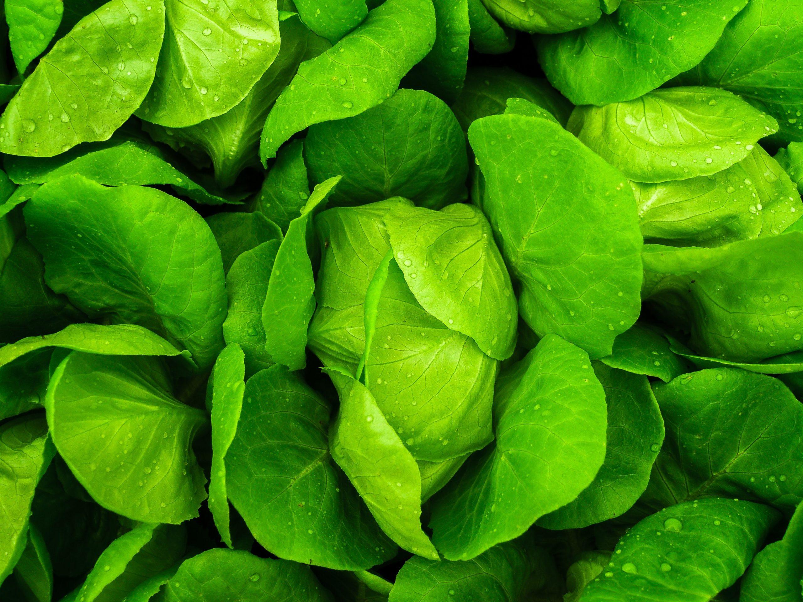 Увеличение урожайности салата на 43% с применением Террабионик
